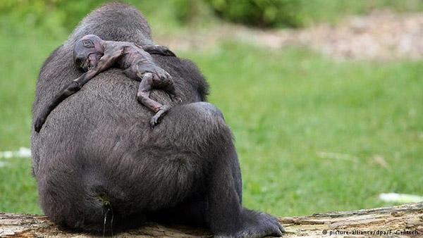 Animal-Grieve_Gorilla
