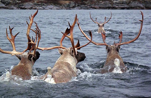 Hungry-Reindeers_11