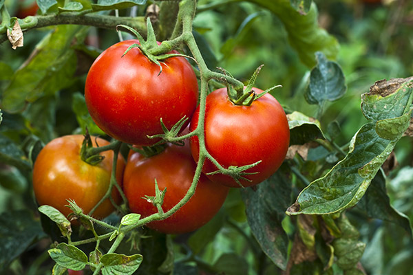 Flavour-of-Tomatoes_3