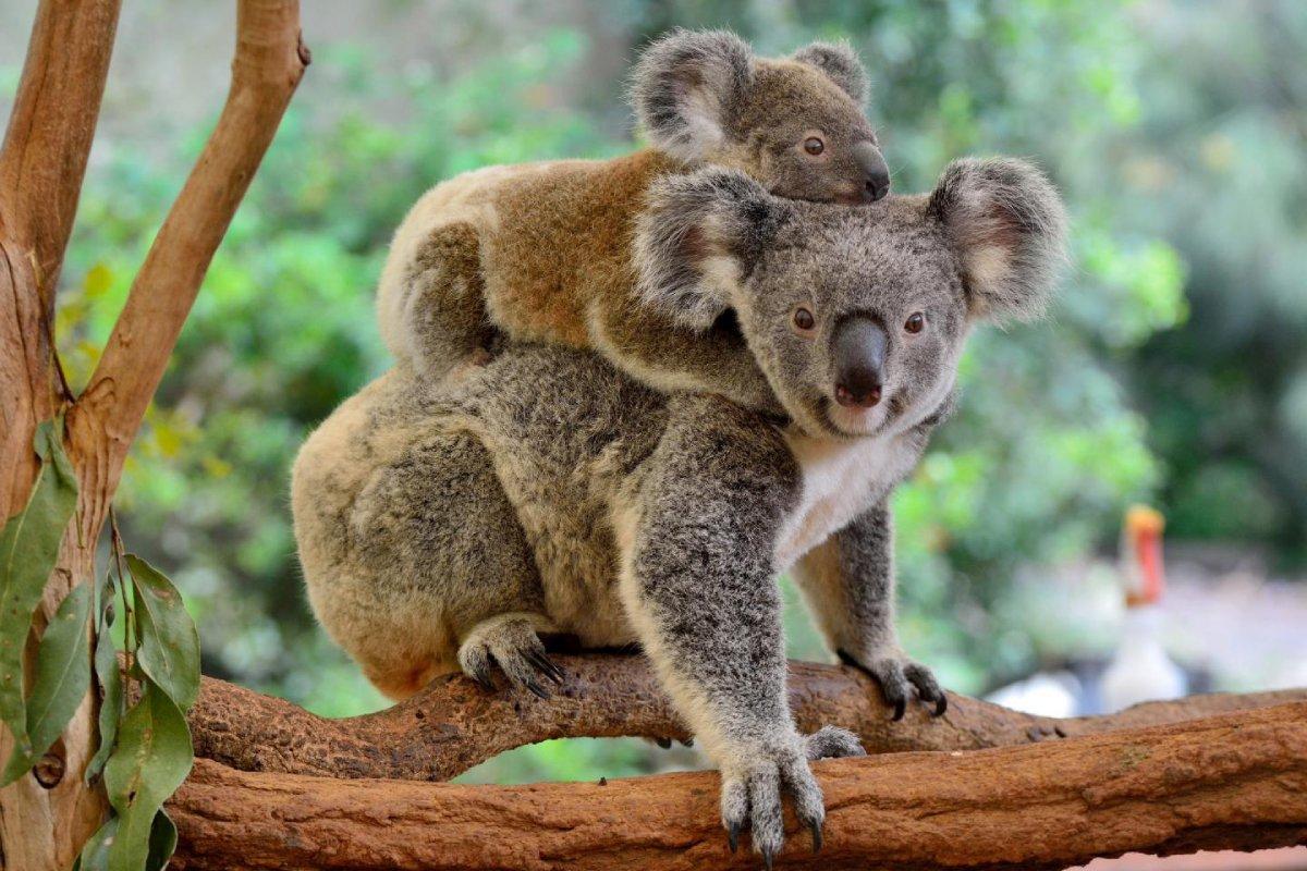 澳洲樹熊在本世紀內消失!這個令澳洲舉國不安的警號因何響起?