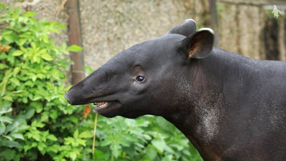 像熊貓擁有黑白雙色、似豬又似象的貘(Tapir),原來是遠古早已存在的「活化石」……