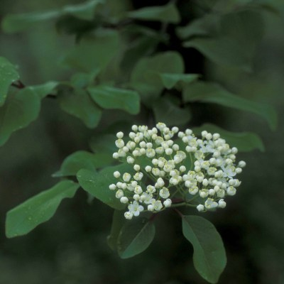 village herbals single extracts black haw viburnum_prunfolium