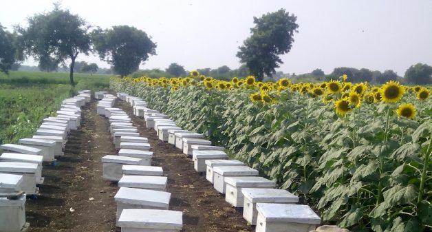 Apiarist Vivek Khalokar's bee boxes in a sunflower field. (Photo by Hiren Kumar Bose)