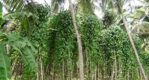 A farm in Ozhur village with vines of Tirur Lanka paan. (Photo by K. Rajendran)