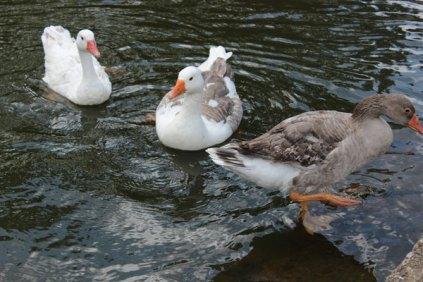 naturaleza-patos