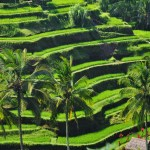 Rice cultivation in terraces