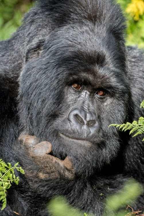 Sylvie BOURSIER - Gorille des montagne - Ouganda