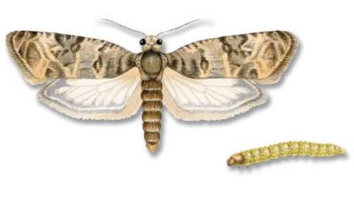 Eudémis larve de papillon mangeuse de vigne