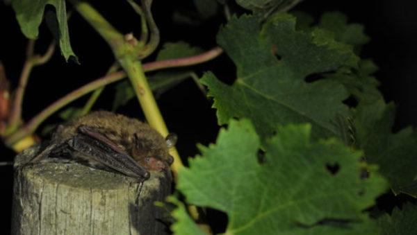 Des Chauves-souris remplacent les pesticides dans les vignes