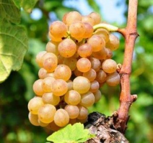 Roussanne Raisin, saveur Histoire de caractère Vin Conseils d'accompagnement