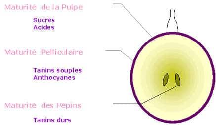 anatomie d'un raisin de vin. D'où vient le tanin du raisin