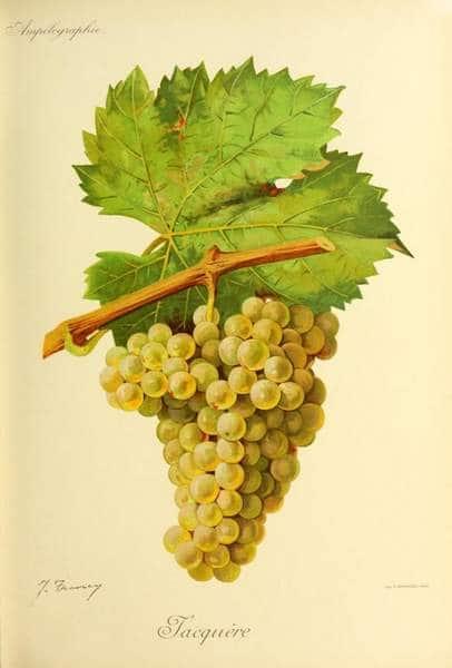 Jacquère - Cépage blanc arômes accord met vin