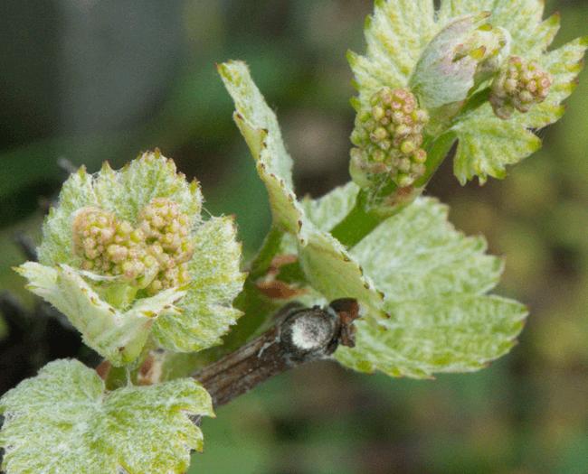 Bourgeon vigne - Famille Tiollier