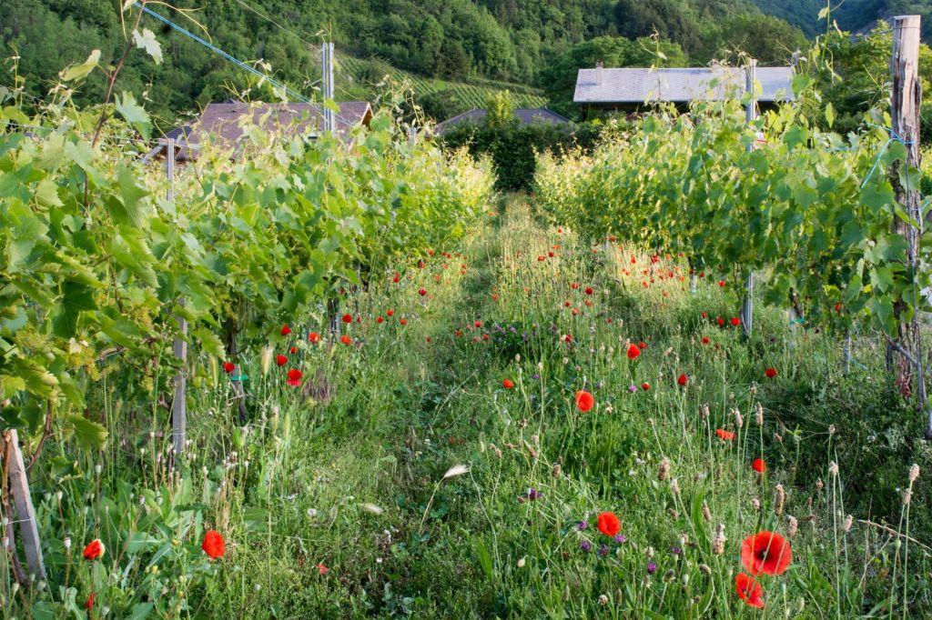 Coquelicots ; roussette de savoie ; viticulture durable