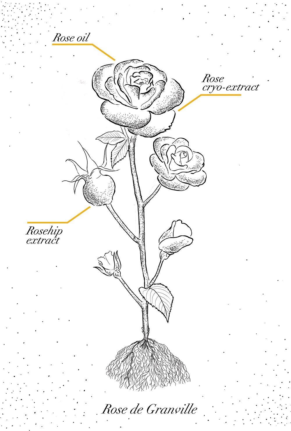 Rose de Granville Dior