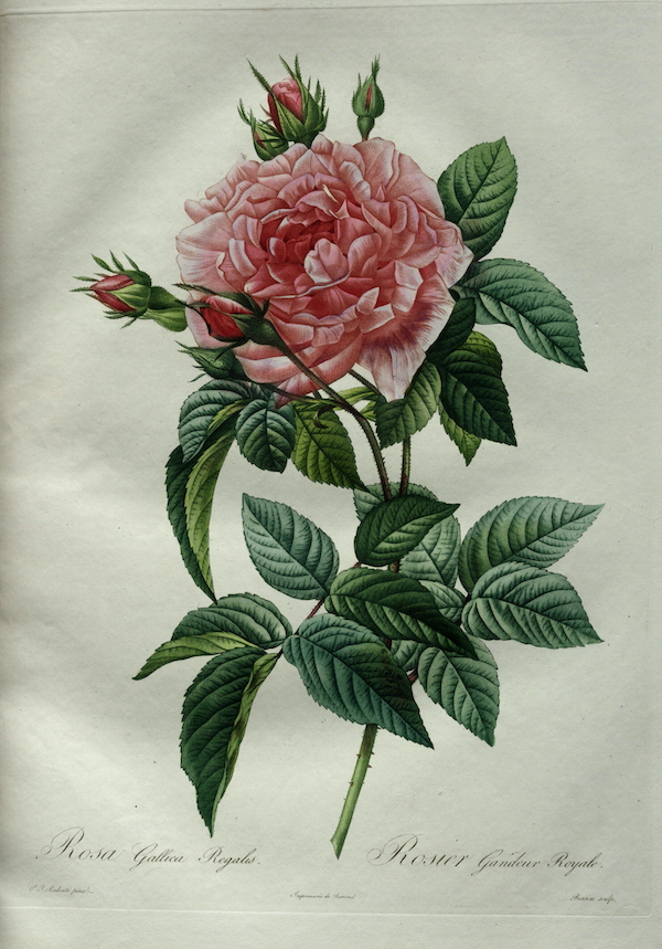 "Pierre-Joseph Redouté, ""Rosa Gallica Regalis"""