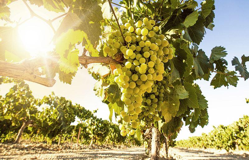 Chardonnay, la reina del vino