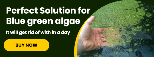 blue-green-algae-issue-pond-solution