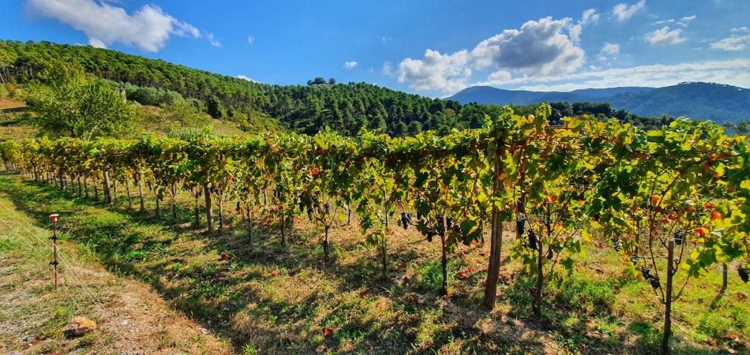 Le vigne di Tenuta dello Scompiglio