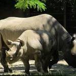 Ionesc-who? (Rhinocéros)