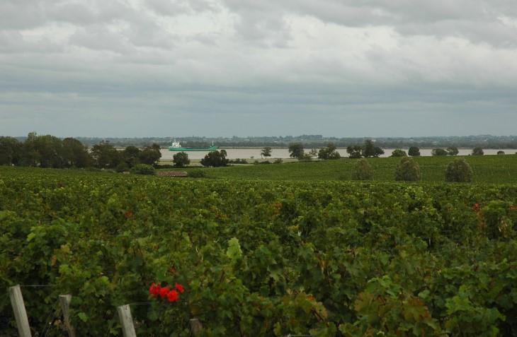 Pauillac - Vignes du Château Latour  en bordure de Gironde - Photo Michel CRIVELLARO