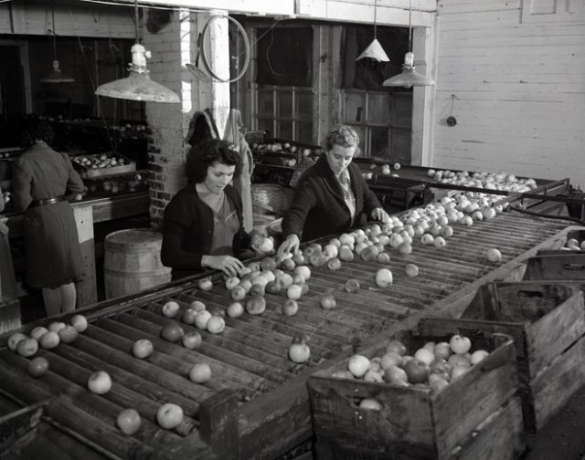 1941 picking and packing apples halifax canada vintage image