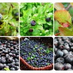 On Blue Berry Picking and Summer Vacations
