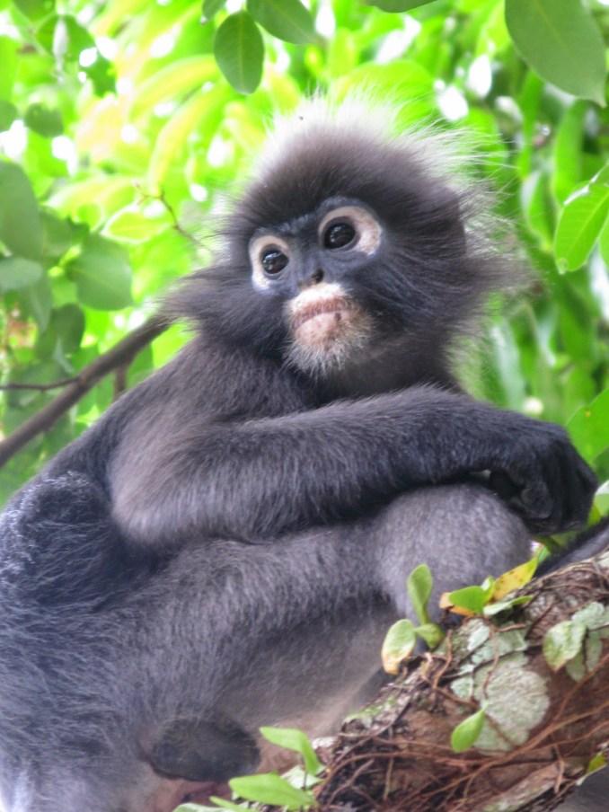 Silver leaf monkey, Penang