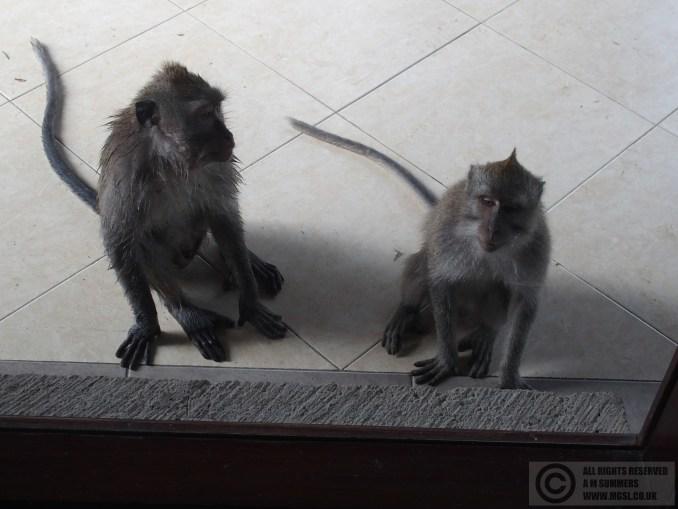 Monkeys trying to break into the houee, Nyuh Kuning, Ubud, Bali