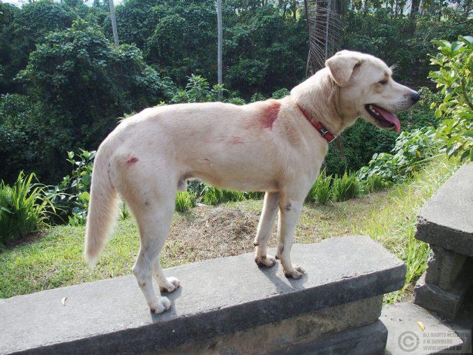 Dog with monkey bites, Ubud, Bali