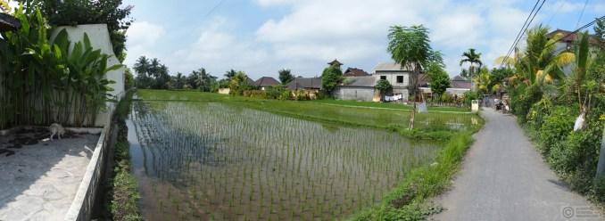 Ricefields near Penestanan