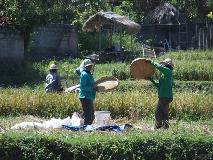 Harvesting the rice in Nyuh Kuning