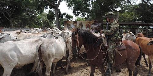 En Trinidad, Ejército Nacional recuperó 63 bovinos hurtados en Paz de Ariporo