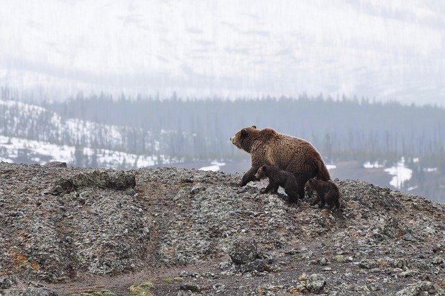 Bear, Denali National Park, Alaska (Photo Credit: Pixabay)