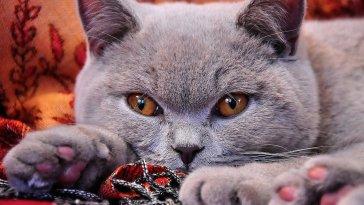 Photo of a British Shorthair Cat