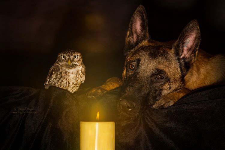 Esta Curiosa (Y Sorprendente) Amistad Entre Un Pequeño Buho Y Un Perro Pastor Te Sorprenderá