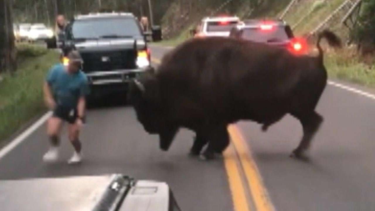 Tourist udfordrer bisonokse i Yellowstone National Park