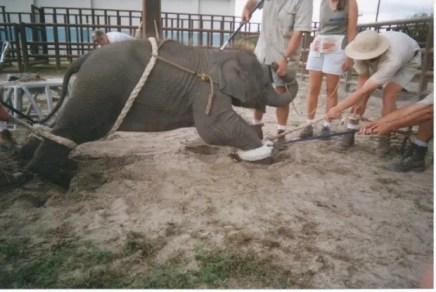 baby elephant chained by all fours, men pulling on his/her legs