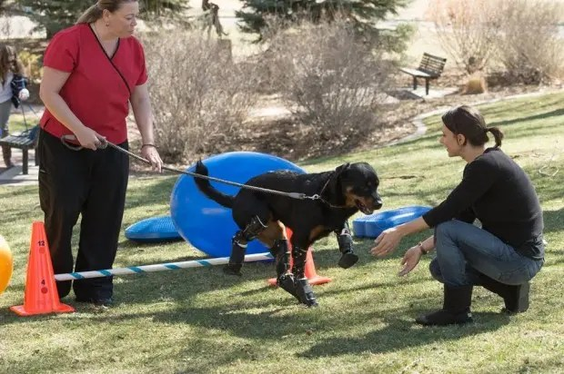 perro-rottweiller-protesis-patas-rehabilitacion