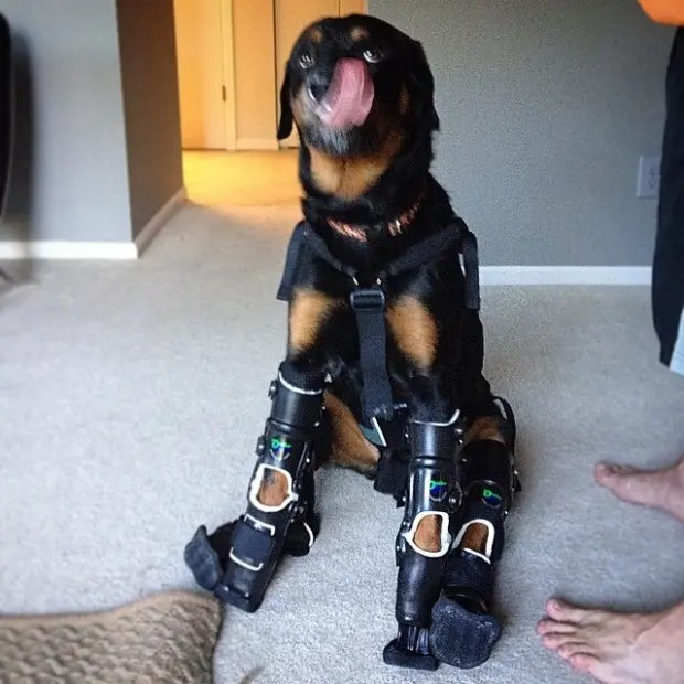 perro-rottweiller-protesis-patas-sentado