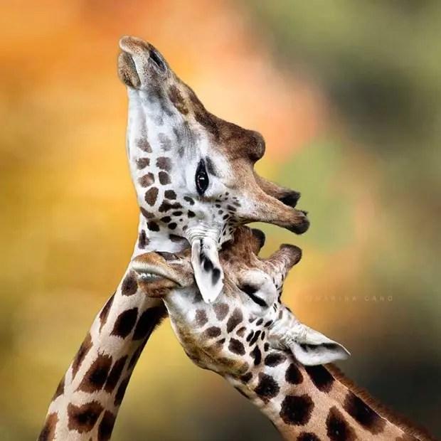 jirafas amorosas