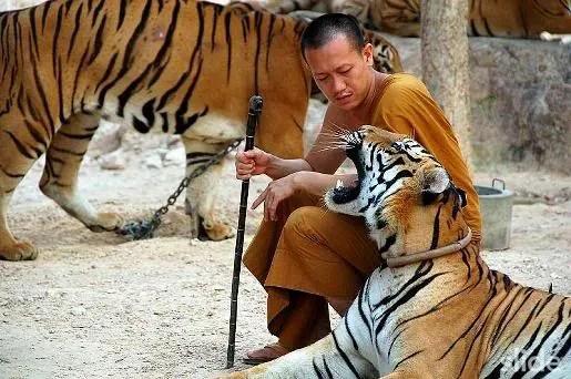 tigre08980