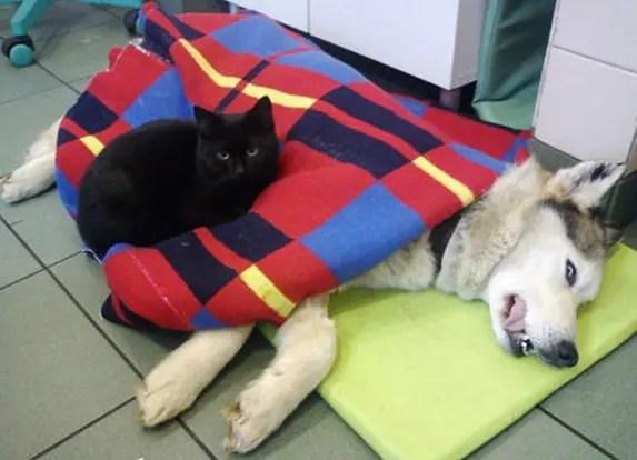 gato-negro-enfermero-fama