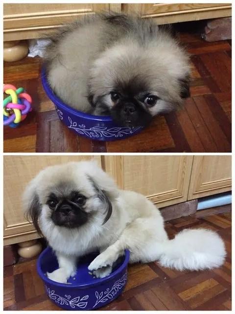 perros-grande-cree-cachorros-12
