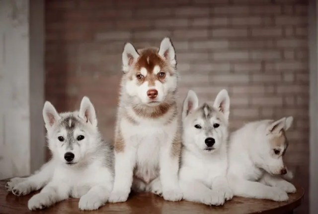 siberian-husky-dog-instagram-erica-tcogoeva-72
