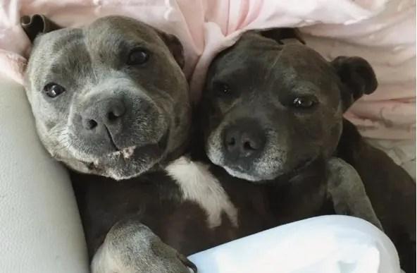 hermanos pitbull 2