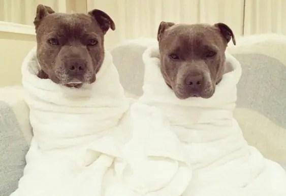 hermanos pitbull 7