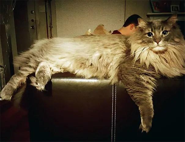 gato coon 11