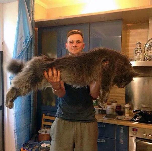 gato coon 16
