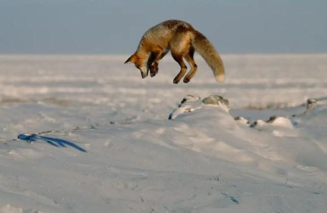 animales jugando en nieve 9